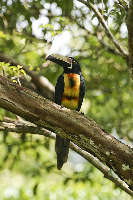 Collared Aracari coloring #1, Download drawings
