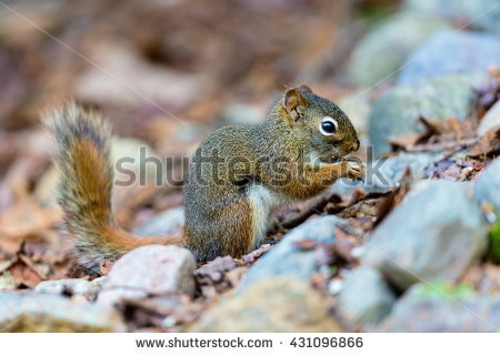 Arboreal Rodent clipart #13, Download drawings