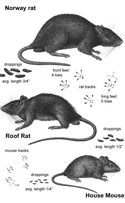 Arboreal Rodent svg #15, Download drawings