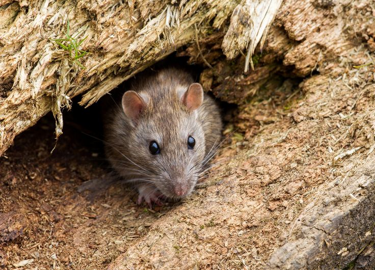 Arboreal Rodent svg #13, Download drawings
