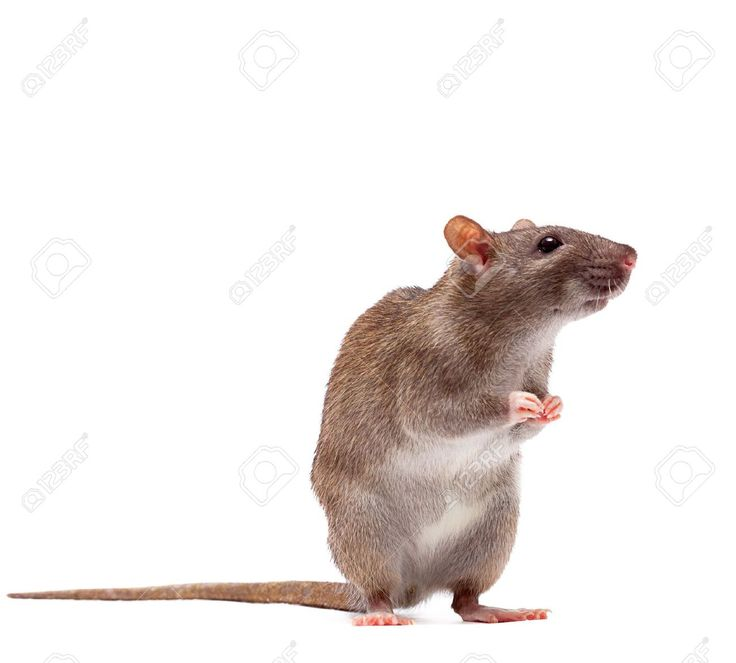 Arboreal Rodent svg #18, Download drawings