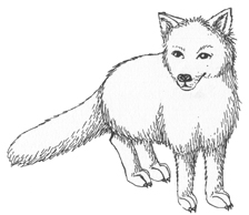 Polar Fox clipart #5, Download drawings