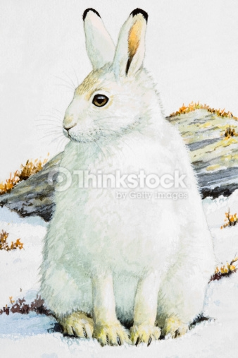 Arctic Hare clipart #5, Download drawings