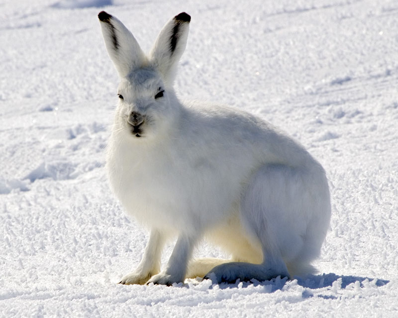Arctic Hare clipart #16, Download drawings