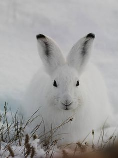 Arctic Hare svg #5, Download drawings