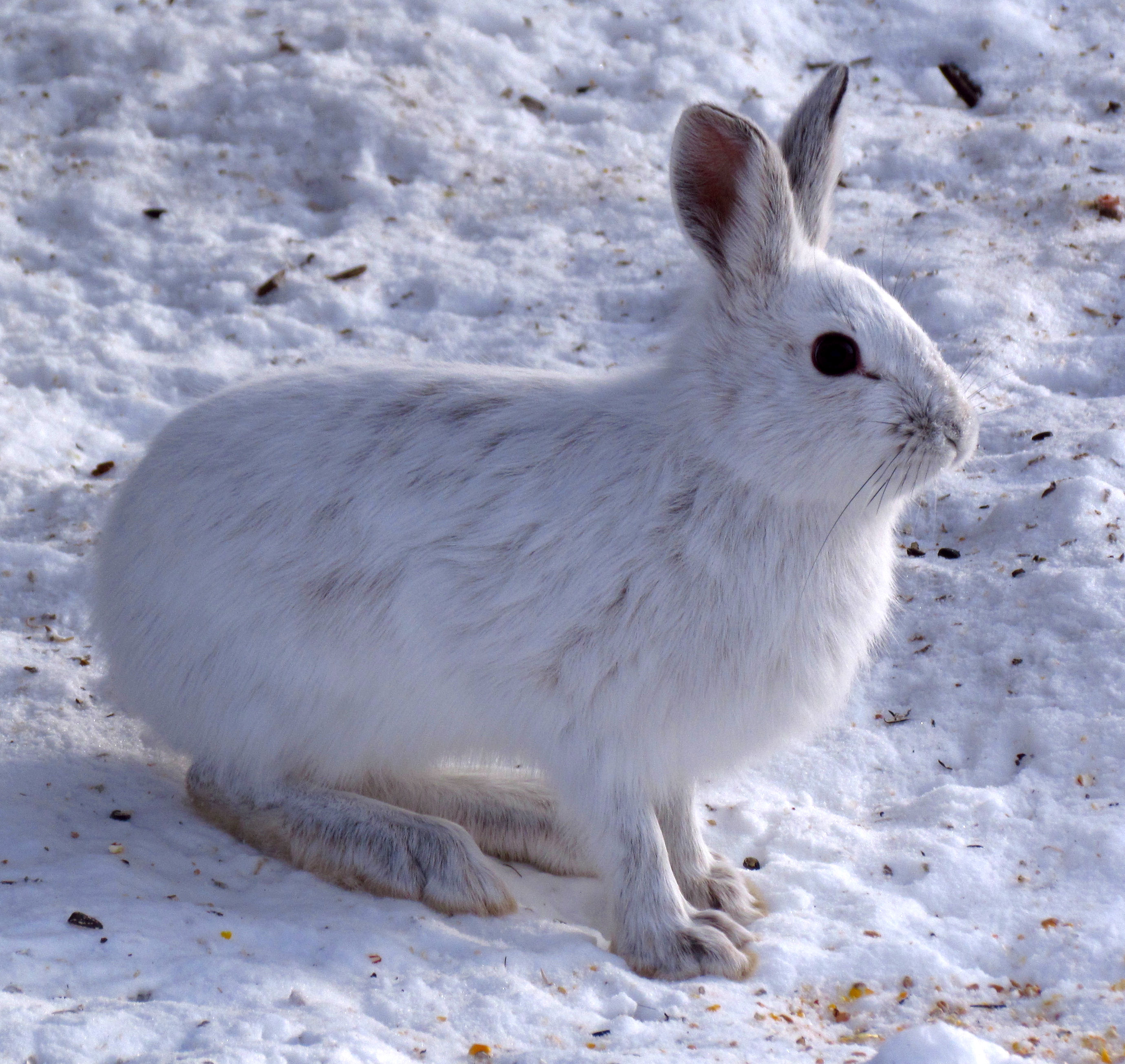 Arctic Hare svg #1, Download drawings