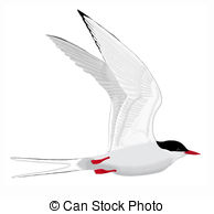 Tern clipart #20, Download drawings