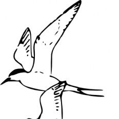 Arctic Tern clipart #4, Download drawings