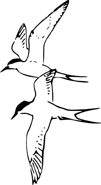 Arctic Tern clipart #19, Download drawings