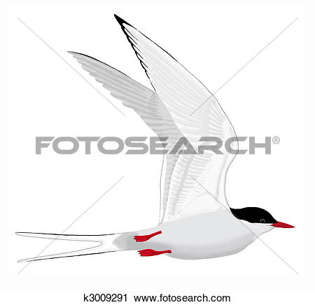Arctic Tern clipart #12, Download drawings