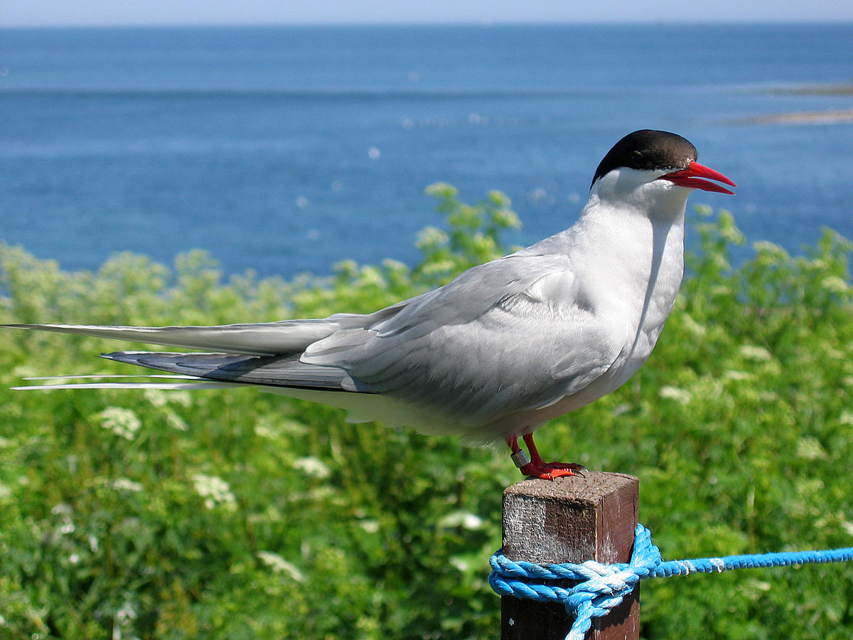 Arctic Tern svg #14, Download drawings