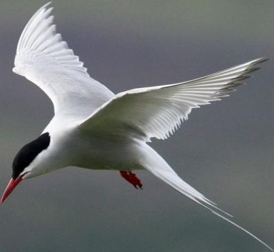 Arctic Tern svg #7, Download drawings