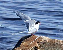 Arctic Tern svg #3, Download drawings