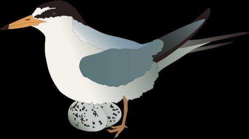 Arctic Tern svg #5, Download drawings