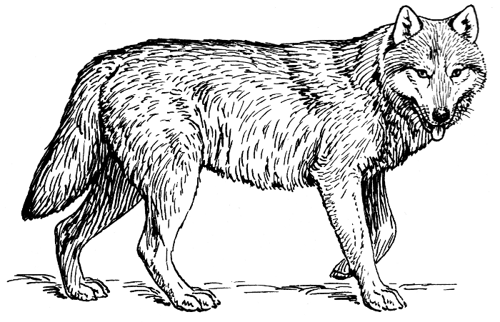 White Wolf clipart #17, Download drawings