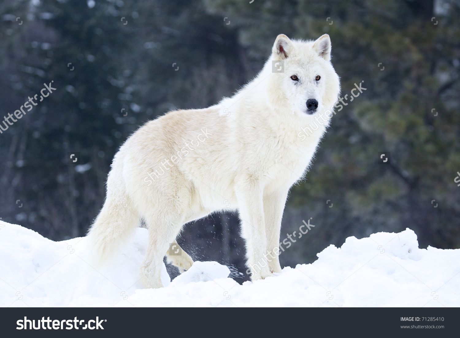 Arctic Wolf clipart #8, Download drawings