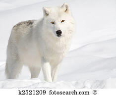 Arctic Wolf clipart #9, Download drawings