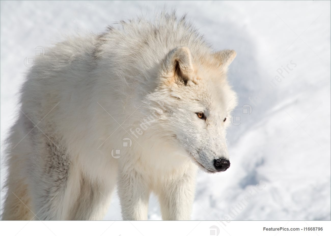 Arctic Wolf clipart #5, Download drawings