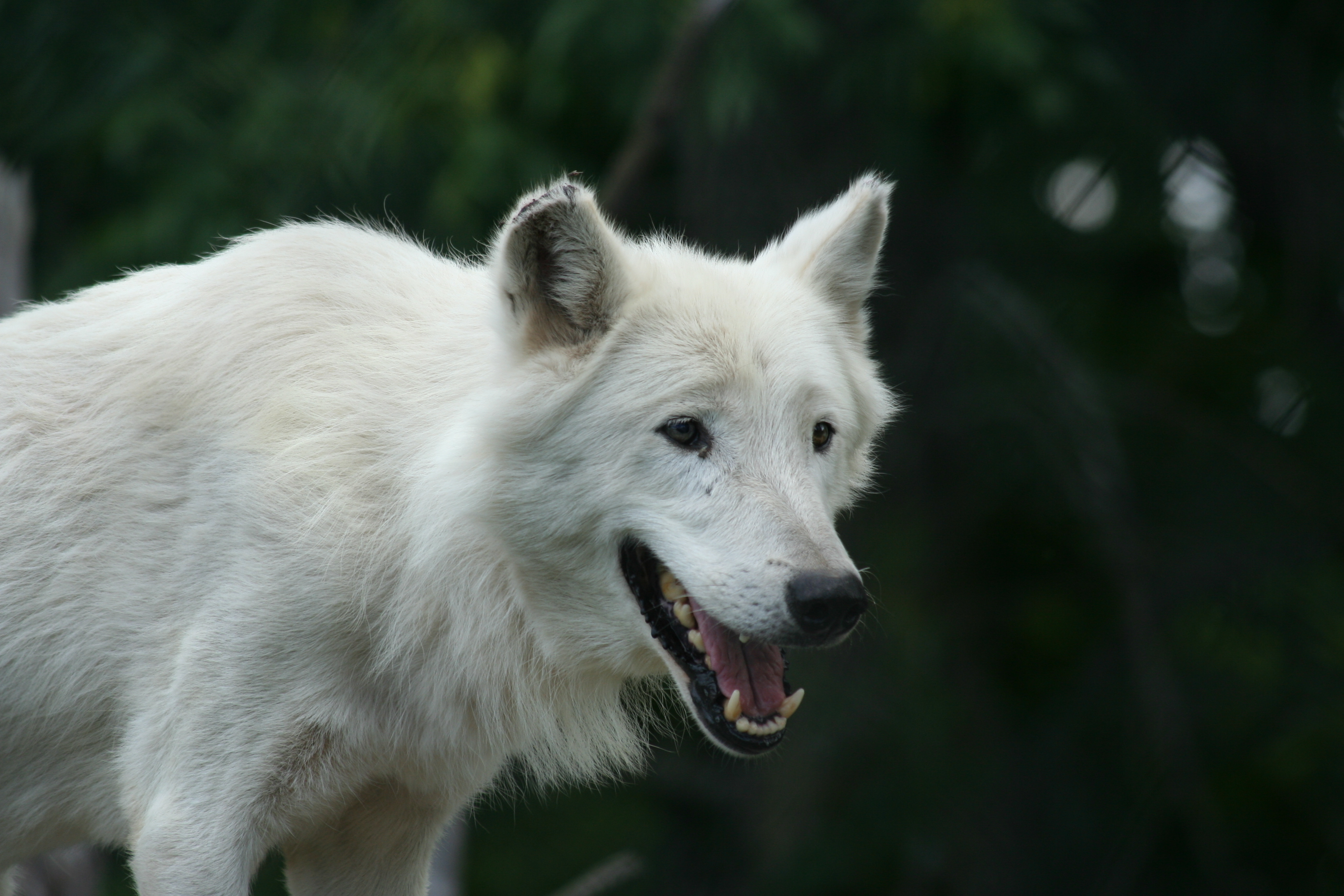 Arctic Wolf svg #3, Download drawings