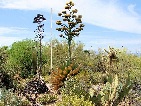 Arizona-sonora Desert Museum clipart #5, Download drawings