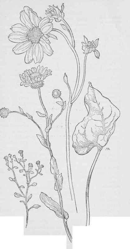 Arrowleaf Balsam Root svg #6, Download drawings