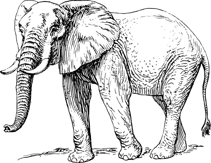 Tusk coloring #8, Download drawings