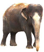 Asian Elephant clipart #13, Download drawings