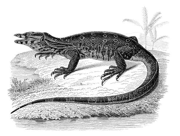 Asian Water Monitor clipart #8, Download drawings
