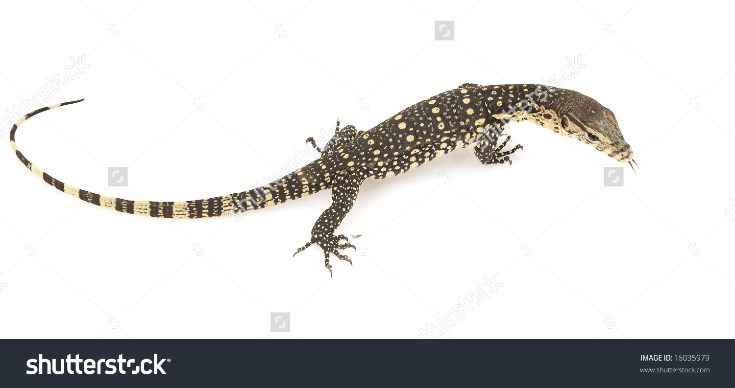Asian Water Monitor clipart #12, Download drawings
