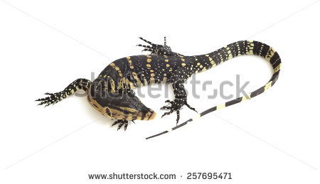Asian Water Monitor clipart #13, Download drawings