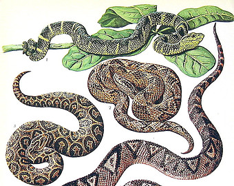 Asp Viper clipart #13, Download drawings