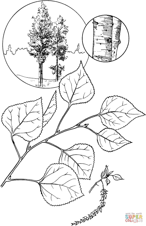 Aspen coloring #6, Download drawings