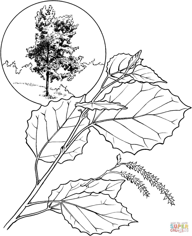 Aspen coloring #8, Download drawings