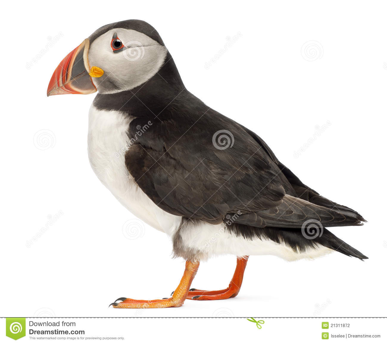 Atlantic Puffin clipart #14, Download drawings