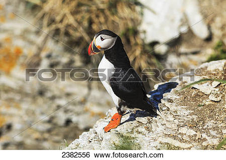 Atlantic Puffin clipart #6, Download drawings
