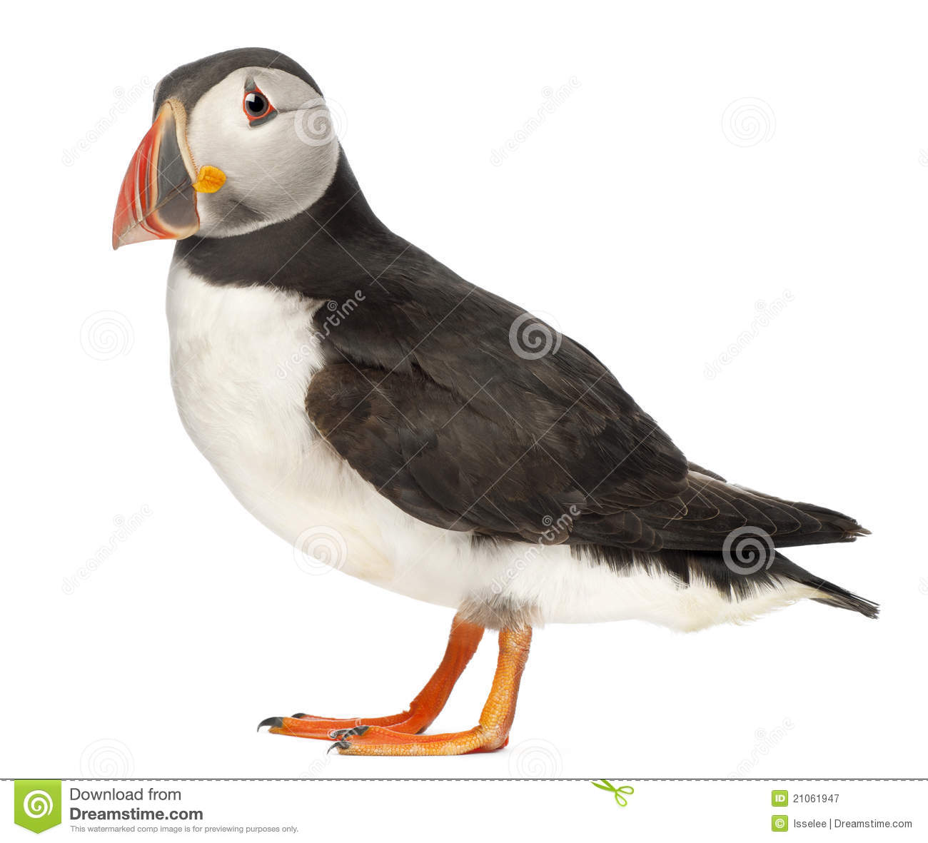 Atlantic Puffin clipart #8, Download drawings