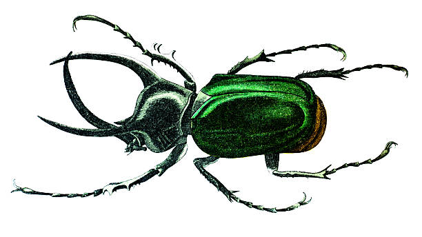 Atlas Beetle clipart #12, Download drawings