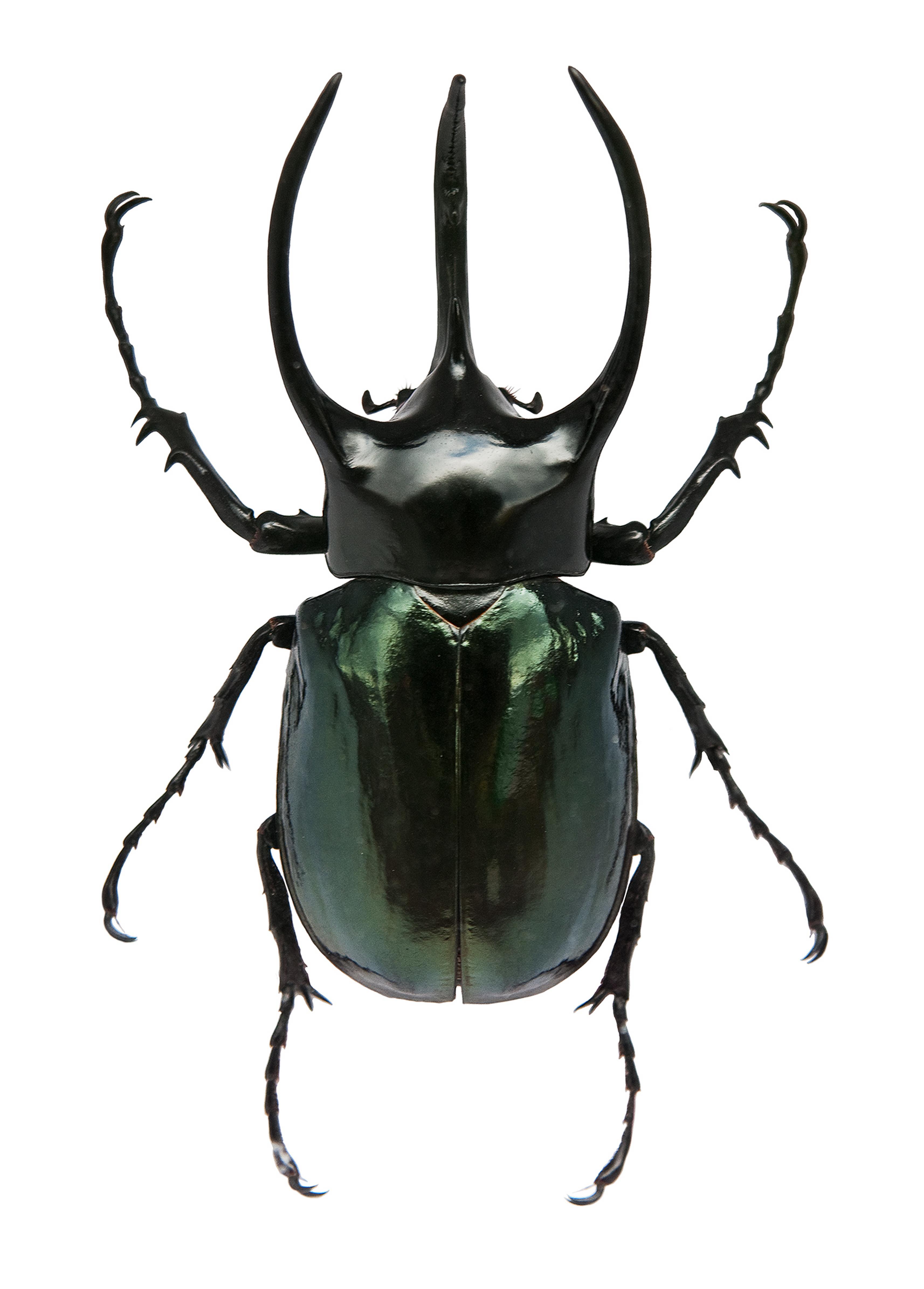 Rhinoceros Beetle clipart #20, Download drawings