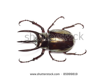 Atlas Beetle clipart #18, Download drawings
