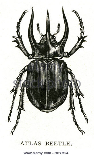 Atlas Beetle clipart #14, Download drawings