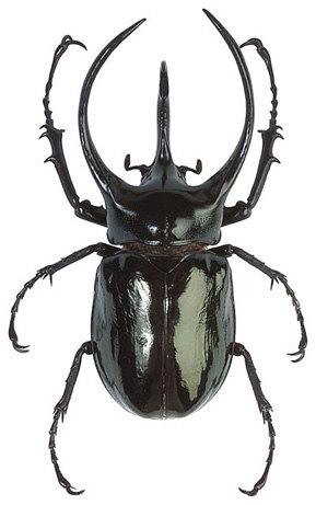 Atlas Beetle svg #19, Download drawings