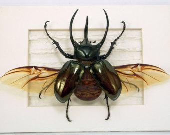 Rhinoceros Beetle svg #2, Download drawings