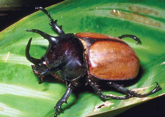 Atlas Beetle svg #11, Download drawings