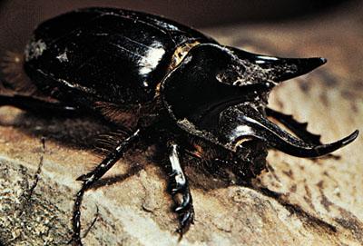 Atlas Beetle svg #10, Download drawings