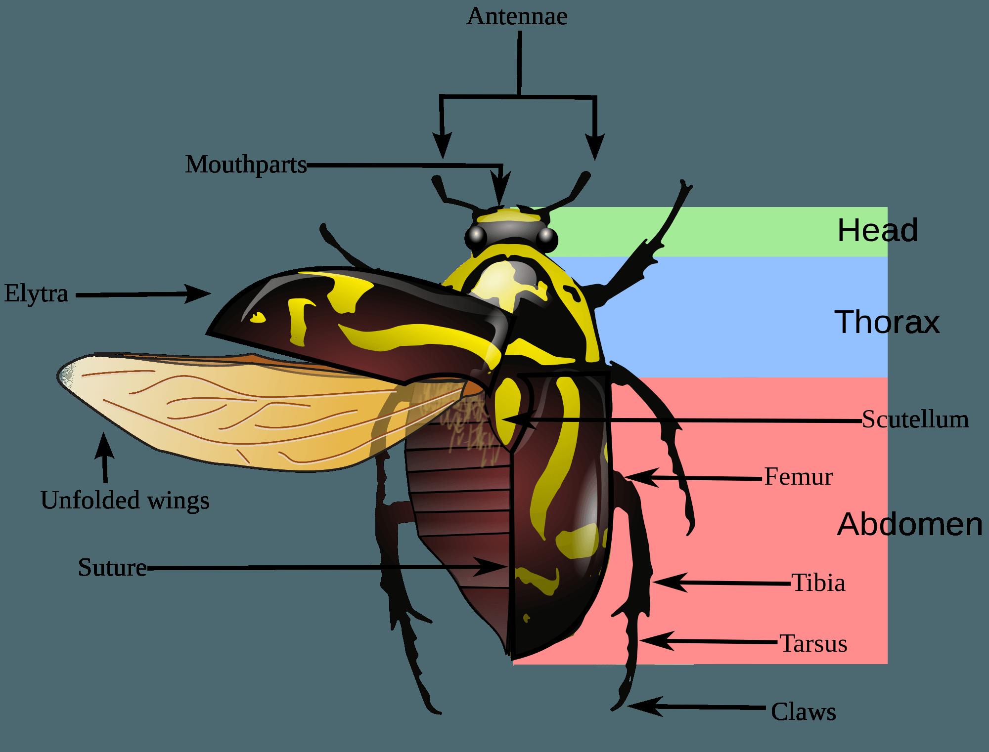Atlas Beetle svg #6, Download drawings