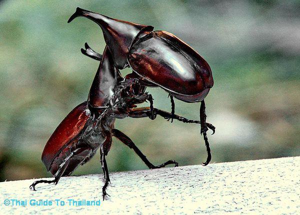 Rhinoceros Beetle svg #17, Download drawings