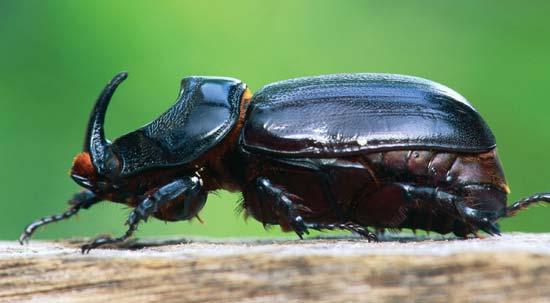 Atlas Beetle svg #13, Download drawings