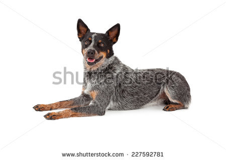 Australian Cattle Dog clipart #12, Download drawings