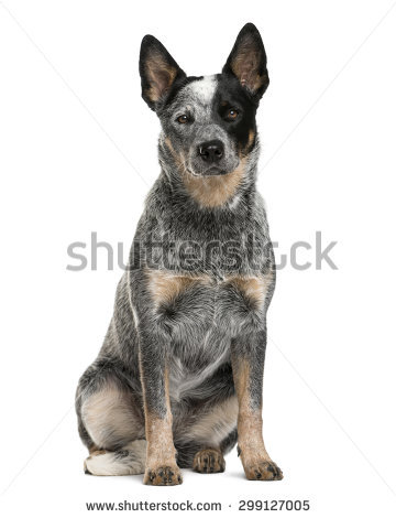 Australian Cattle Dog clipart #10, Download drawings