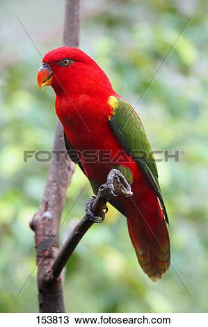 Australian King-Parrot clipart #19, Download drawings